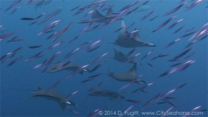 Mobula Ray Squadron Hunting in the Bait balls of Anchovies